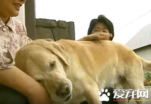 相隔11年在回家 导盲犬不曾忘记照顾它的家人